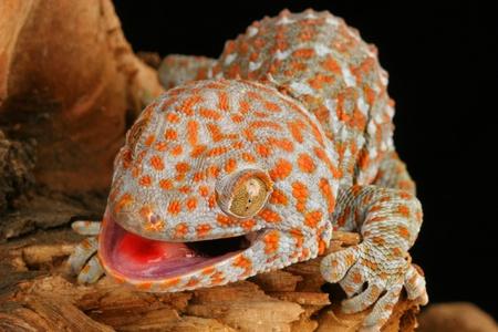tokay gecko: Close-up of Tokay Gecko Lizard