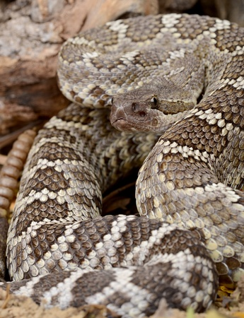 Portrait of a Southern Pacific Rattlesnake