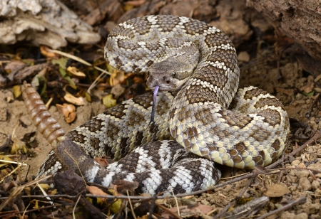 Portrait of a Southern Pacific Rattlesnake  photo