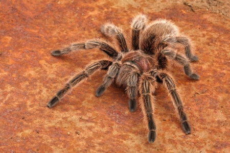 provoked: Chilean Rose Hair Tarantula  Grammostola rosea   One of the most docile of tarantulas  This is generally the first  pet  tarantula people look for when buying  It will strike and throw hair if provoked