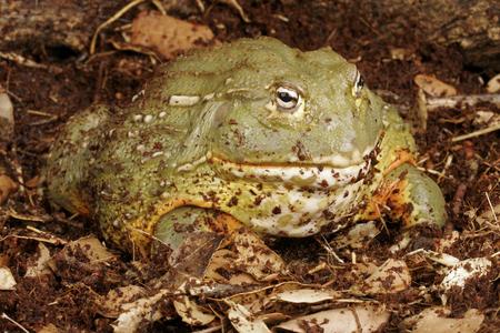fatso: African Bullfrog  Pixie Frog  Stock Photo