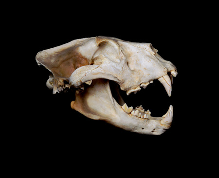 animal skull: Portrait of an African Lion Skull  Pantera leo