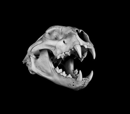 animal skull: Portrait of a Cougar Skull
