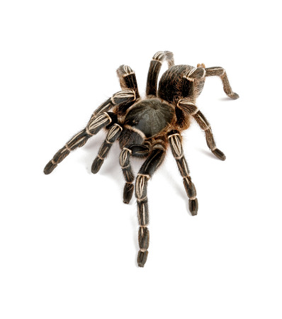arachnophobia: Close-up of a Zebra Tarantula (Aphonopelma seemani). A medium sized tarantula and is somewhat timid. It will flick hairs (urticating hairs) from its abdomen when it feels threatened. On white background. Stock Photo