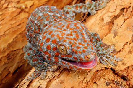 tokay gecko: Closeup of a Tokay Gecko (Gecko gecko).