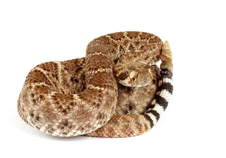 deadly poison: Closeup of a Western Diamondback Rattlesnake (Crotalus atrox) on white background.