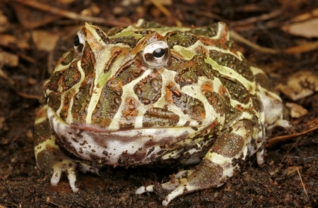 pacman: Argentine Horded Frog. Also called Pac-Man Frog.