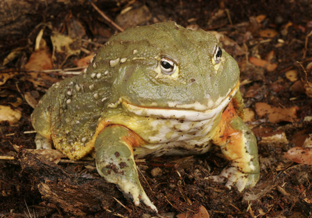 stealth: African Bull Frog (Pyxicephalus adsperus). Also known as the Pixie Frog. Stock Photo