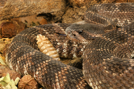 Portrait of a Southern Pacific Rattlesnake. photo