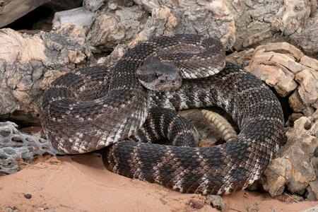 serpiente de cascabel: Retrato de una serpiente de cascabel del Pac�fico sur.