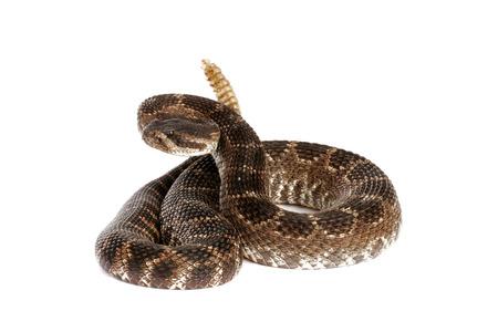 serpiente de cascabel: Retrato de una serpiente de cascabel del Pac�fico Sur (Crotalus viridis helleri) sobre fondo blanco. Foto de archivo