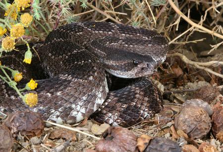 serpiente de cascabel: Retrato de una serpiente de cascabel del Pac�fico Sur (Crotalus viridis helleri). Foto de archivo