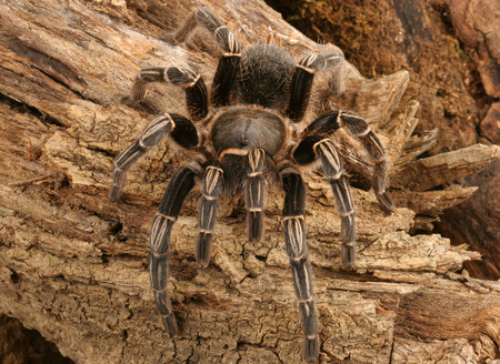arachnophobia: Close-up of a Zebra Tarantula (Aphonopelma seemani). A medium sized tarantula and is somewhat timid. It will flick hairs (urticating hairs) from its abdomen when it feels threatened.