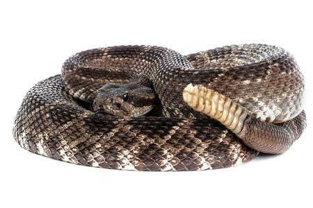 serpiente de cascabel: Retrato de una serpiente de cascabel del Pac�fico Sur en el fondo blanco. Foto de archivo
