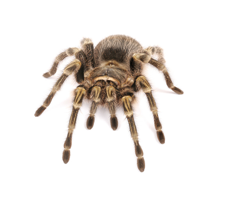 hairy legs: Chaco Golden Knee Tarantula (Grammostola aureostrista) on white background. Stock Photo