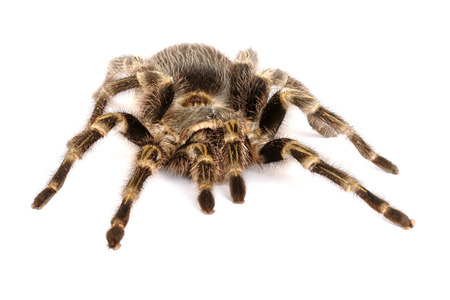 arachnid: Chilean Rose Hair Tarantula (Grammostola rosea) on white background.