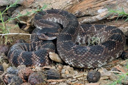 serpiente de cascabel: Retrato de una serpiente de cascabel del Pacífico sur.