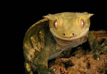 Crested Gecko (Rhacodactylus ciliatus) against a black background.
