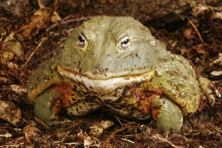 pixie: African Bull Frog (Pyxicephalus adsperus). Also known as the Pixie Frog. Stock Photo