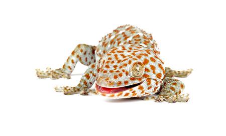 tokay gecko: Closeup of a Tokay Gecko (Gecko gecko) on  white background.