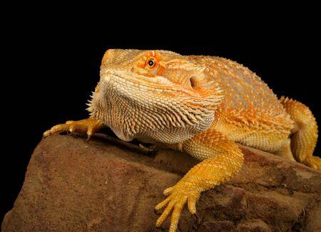 bearded dragon: Closeup of a Bearded Dragon (Pogona vitticeps).