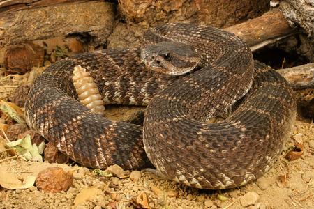 Ritratto di un Rattlesnake pacifico del sud.