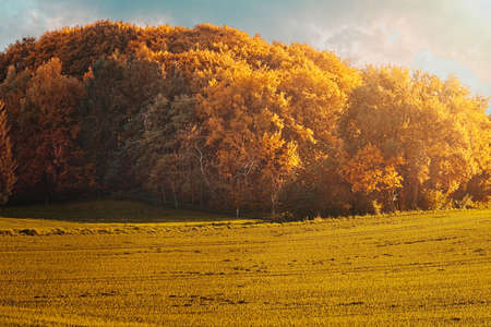 Autumn landscape, with colourful yellow foliage on the trees in evening light with a field in the foreground