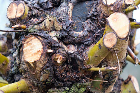 Close up on the remnants of pruned offshoots or side branches on a tree trunk cut back to allow the tree to overwinter before new growth starts in the spring