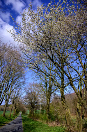 Spring landscape with tree-lined road with trees covered in seasonal blossom and lush green grass under a sunny blue sky with fluffy white clouds Archivio Fotografico