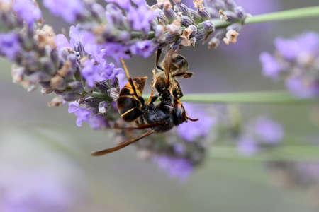 Asian hornet killing a bee