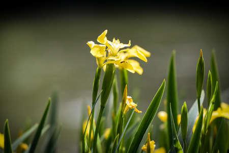 yellow flower of marsh iris Banque d'images - 147554280