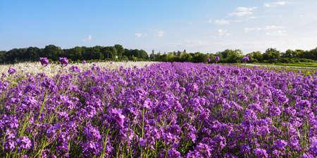 field of wallflower