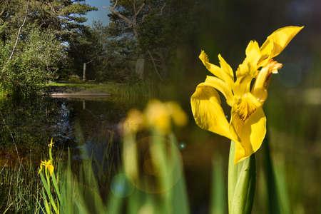 yellow marsh iris
