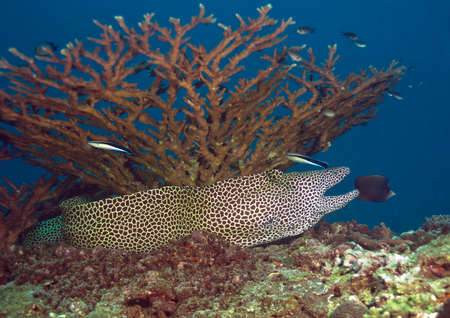 moray: The big Laced moray is below a coral. Stock Photo