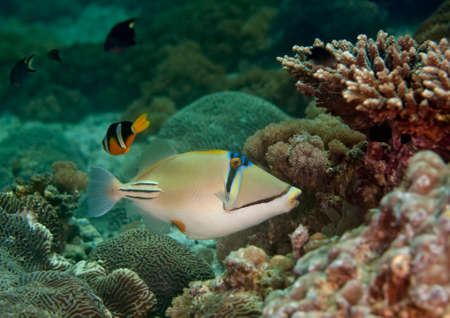 trigger fish: a triggerfish passes by Stock Photo