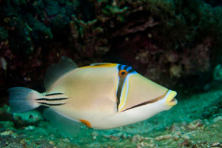 trigger fish: when he attacks you are without a chance