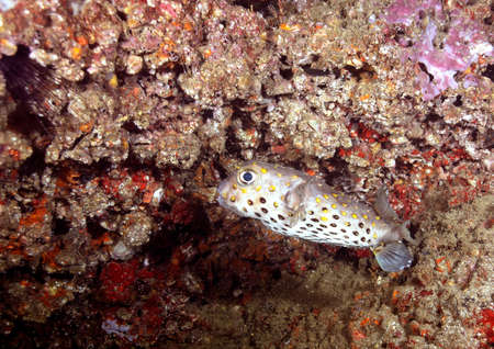 expressed: Porcupine fish expressed anxiously to the reef Stock Photo