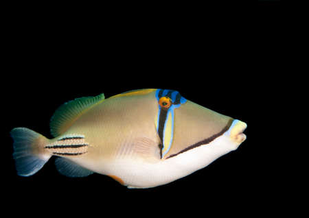trigger fish: a triggerfish comes very close