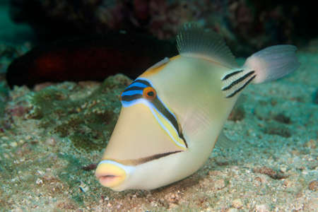 trigger fish: this triggerfish is very curious
