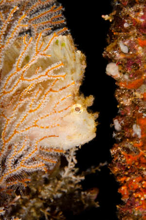 softcoral: a leaf scorpionfisch during a nigthdive behind a softcoral Stock Photo