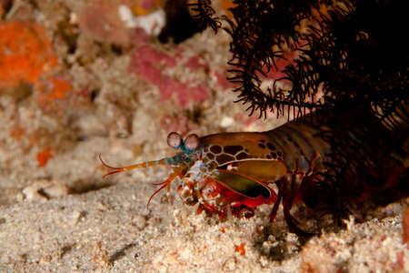 curiously: a mantis shrimp watching curiously the photographer Stock Photo