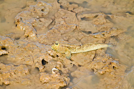 pygoplites diacanthus: The Mudskipper on coast thailand