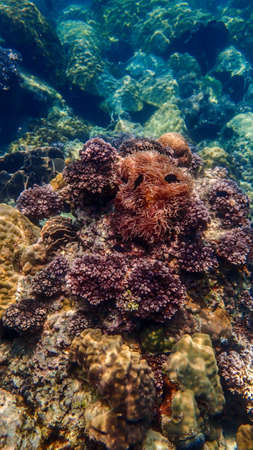 polyps: the Cauliflower Coral in chumporn province of thailand Stock Photo