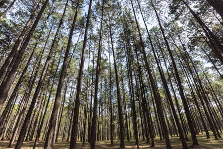 heather: the pine tree at changmai in thailand Stock Photo