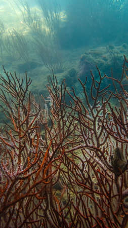 the sea fan undersea in Myanmar
