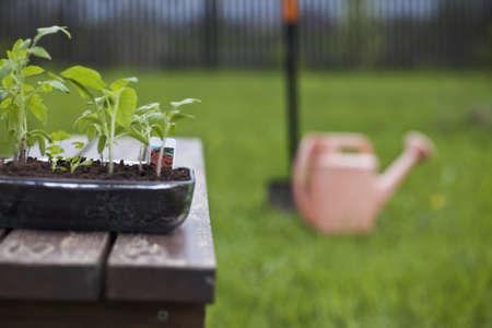 Young tomato seedling  Stock Photo - 10283107