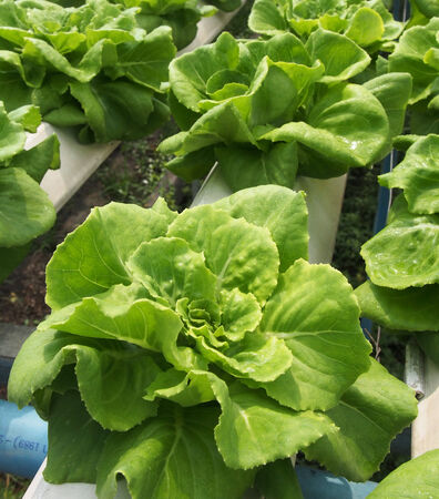 hydroponics: Green Oak in Hydroponics farm