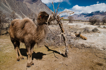 Small Bactrian camel standing on the desert photo