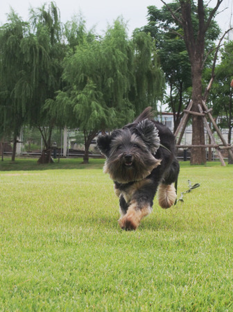 Happy little black dog running on the grass photo