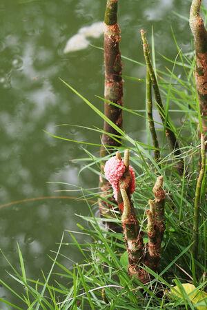 plantas acuaticas: C�scaras de huevo de color rosa en las plantas de agua Foto de archivo